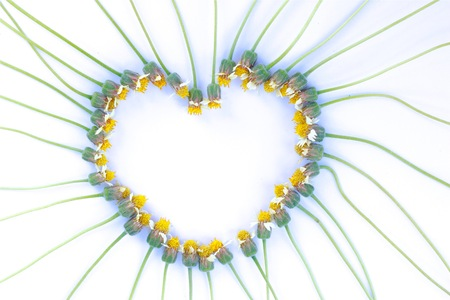Coatbuttons, Mexican daisy in white background is set in a heart shaped . Space for text. Select focus. Ant on it