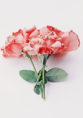 Dry rose in white background. Blank space for text. Select focus. Stok Fotoğraf