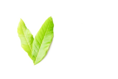 Longan leaves in white background. Select focus.