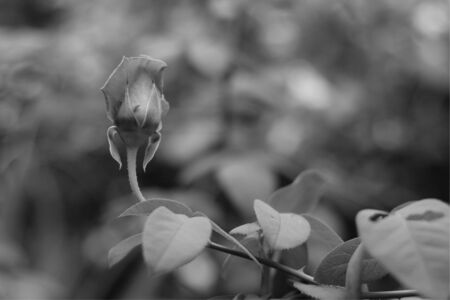 Rose in the garden. Select focus Black and white Stok Fotoğraf