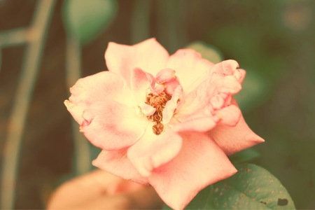 Rose in the garden. Select focus