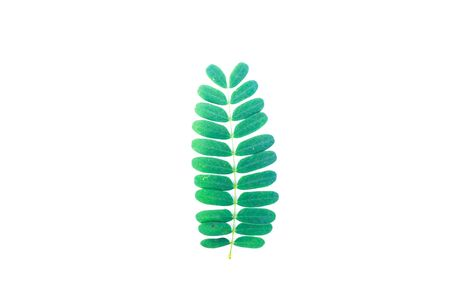 Tamarind leaves in white background. Select focus. Blank space for text.