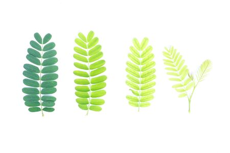 Tamarind leaves in white background. Select focus. Blank space for text. Concept cycles of live