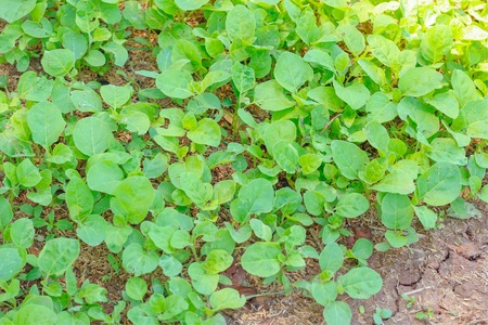 Young plants of eggplant in the garden. Preparing for plant. Select focus.