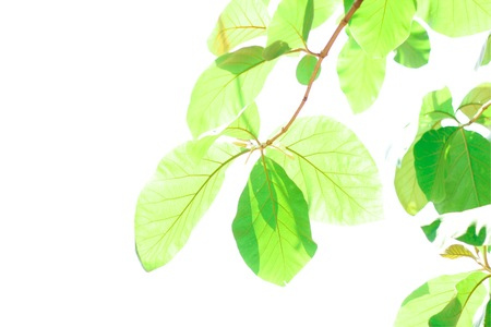 Teak leaves in white background Stok Fotoğraf