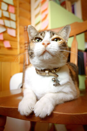 mewing: cute cat
