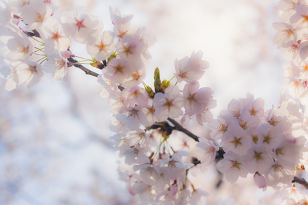 White Cherry Blossom Bloom in Sendai, Japan