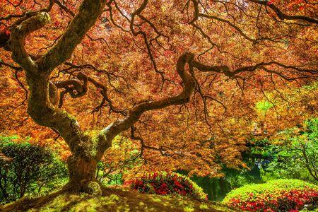 Red japanese maple tree photo