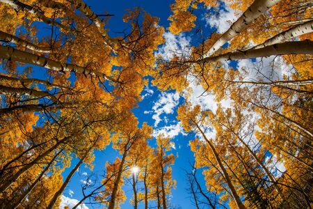 Yellow leaves aspens with blue sky photo