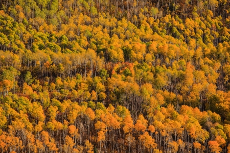 A forest of yellow aspen during Fall in Colorado photo
