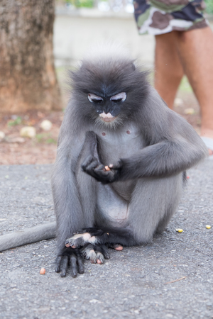 monkey nuts: Dusky Leaf Monkey eating nuts  in Thailand.