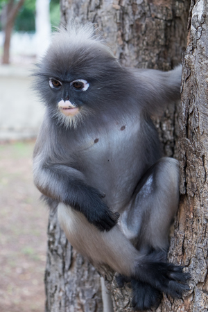 dusky: Dusky Leaf Monkey in Thailand. Stock Photo
