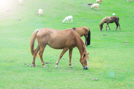 trotters: Brown horses eating grass in farm.