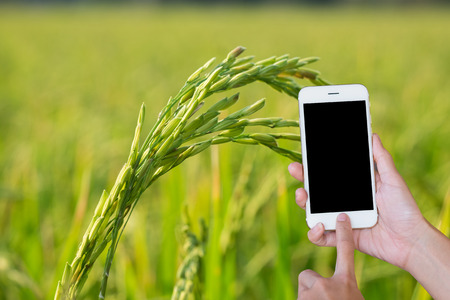 Hands woman holding touch screen smart phone,tablet on close-up rice  green fields background.