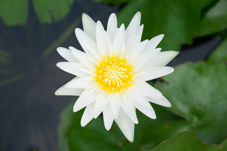 lotus flower for background.