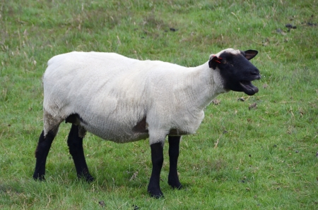bleating: A bleating sheep on the pasture