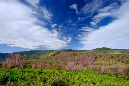 Pink Flowers Field  with Blue Sky in the Mountain