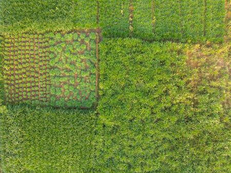 aerial view of a green pasture land for the milking cows of a large cattle farm in rural India. green fodder for cattle.