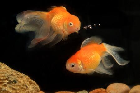 Goldfish, Fish, Aquarium fish Stock Photo