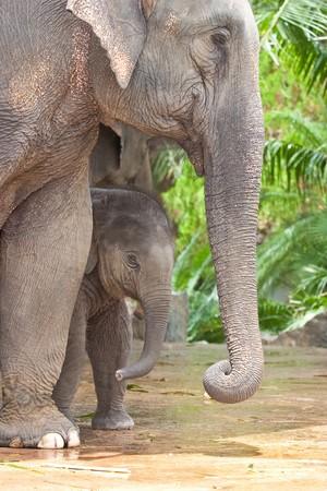 Relationship Calf and Mom,Thai Elephant, Thailand Stock Photo