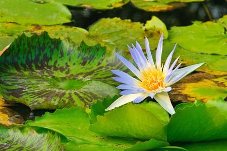 Purple Lotus, Thailand Stock Photo