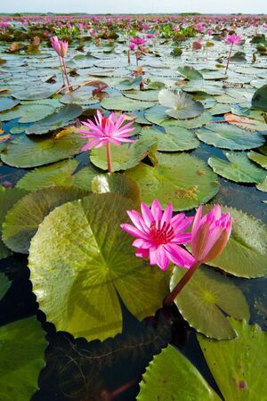 Lotus, wetlands, Swamp,  Thalaynoi, Phathalung Province, South of Thailand Stock Photo