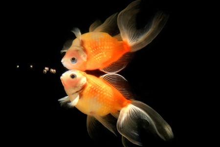 Bubble, Goldfish, Fish, Aquarium fish Stock Photo