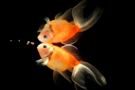 Bubble, Goldfish, Fish, Aquarium fish Stock Photo