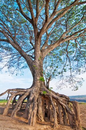 Long Root, Tree, Sampanbok, Ubonratchathani,  Thailand Stock Photo - 8017893