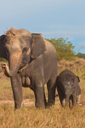 Relationship Calf and Mom,Thai Elephant, Thailand Stock Photo