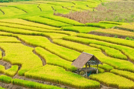 field of thai: Terraced rice on Mountain, Chiangmai Province, Northern of Thailand