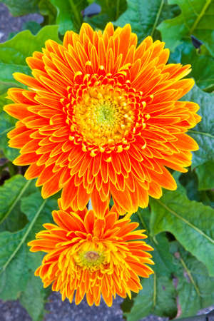 Orange gerbera flower isolated