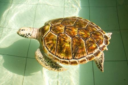 Sea turtle swimming in farm pond, thailand  photo