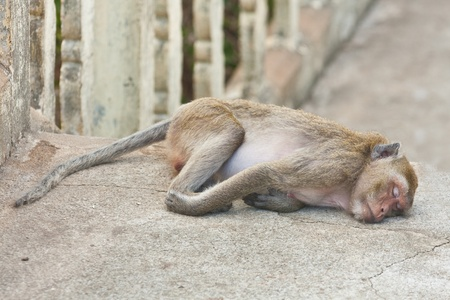 The monkey relax, Sleeping in temple, Thailand