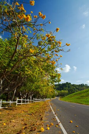 Yellow exotic flowers on a tree and road  Cochlospermum regium  Stock Photo