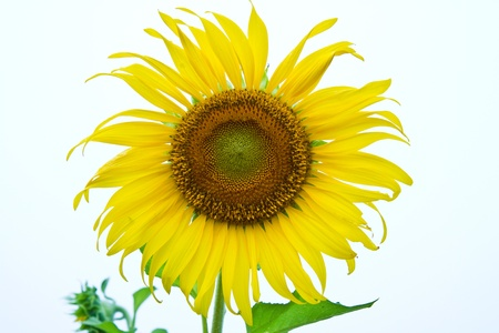 sunflower  and white background