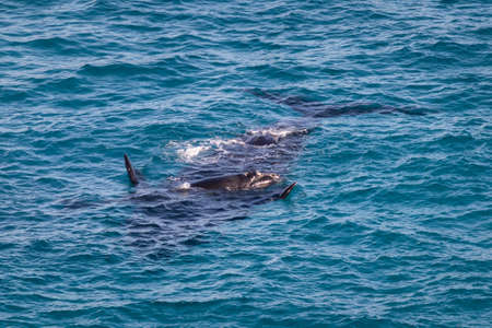 Southern right whales. Couple cow and calf. Mother upside down, baby on its belly. Isolated individuals. Nursing area at Head of Bight, Nullarbor, South Australia Imagens