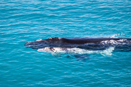 Right southern whales, cow and calf. White calf, rare individual. Mother and baby in nursery area Head of Bight, Australia. Winter time. Calf getting stronger before traveling back to Antarctica.