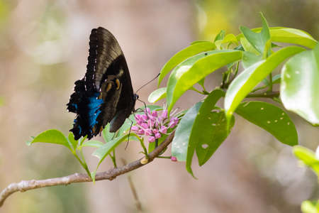 close up picture of butterfly on a flower. Alive blue Ulysses (Papilio ulysses). Profile, outer side of wings. Pollinating pink flowers. Peterson creek, Yungaburra, Quensland QLD, Australia, Oceania