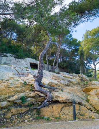 Pine tree growing on a rock, tree root visible outside the soil, Mediterranean forest in the countryside. Spain, Europe Stock Photo