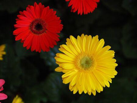 Fiori, fiori di crisantemo, carta da parati crisantemo, Archivio Fotografico