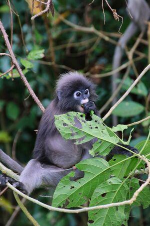 Dusky Leaf Monkey (Trachypithecus obscurus) in Kaeng Krachan National Park, Thailand