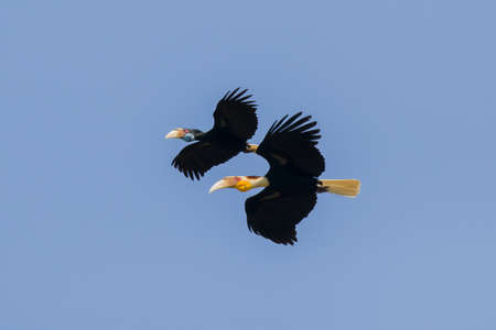 Wreathed hornbill are flying on sky (Male and female), Khao yai national park, Thailand