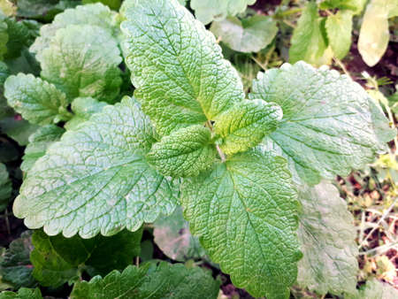 Fresh mint and melissa leaves. It is used for aromatherapy, adding to tea, as a seasoning for preparing salads, meat dishes. In medicine it is used as a sedative.