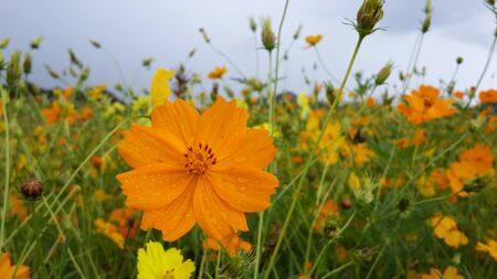 joyfully: Cosmos sulphure in natural field, they cheerfully bloom in a cloudy day. Stock Photo
