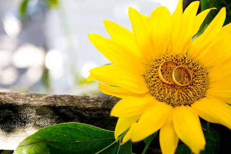 marrying: Two wedding rings lie on a large sunflower. Rings are golden.