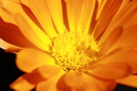 gelb: marigold