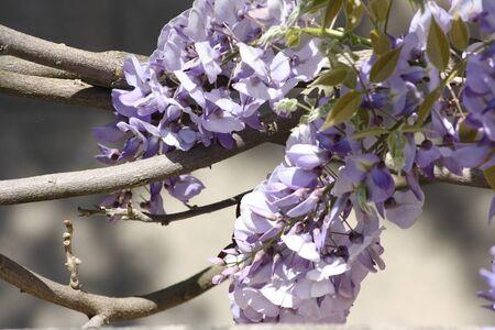 wisteria: Chinese wisteria Stock Photo