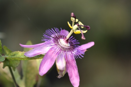 pflanze: passion flower