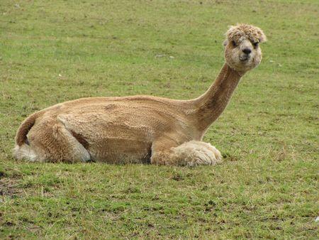 Cute Alpaca Фото со стока